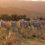 foto ovejas 5