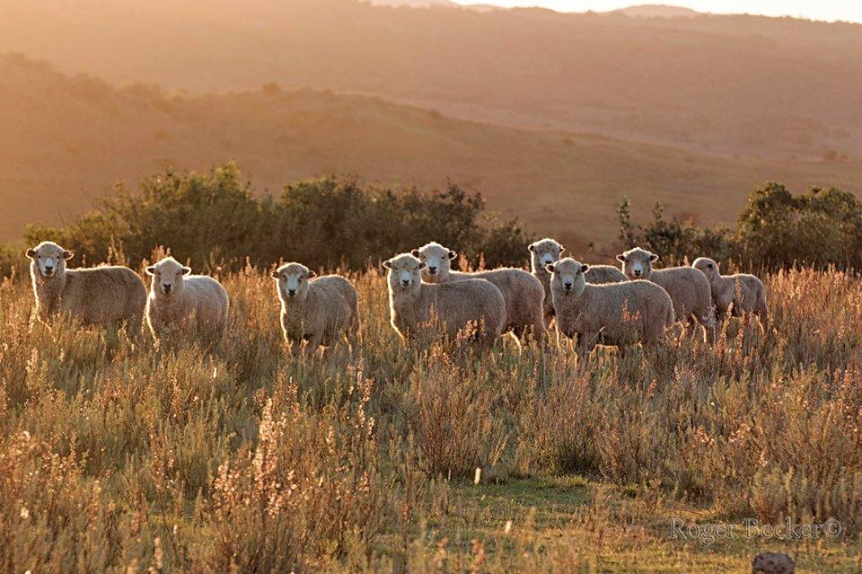 foto ovejas-5